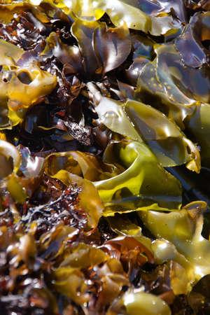alga marina: Resumen, algas deja en tidepool en marea baja Oregon Coast Foto de archivo