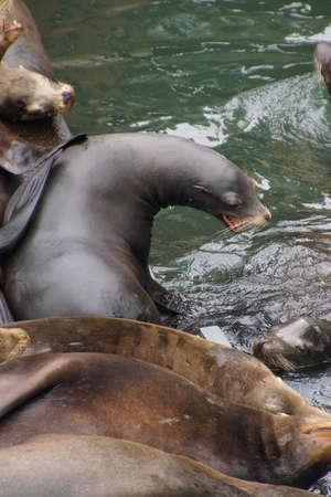 prone: California sea lion barking to claim territory on a crowded wharf,  (Zalophus californianus) , Newport Bay Harbor,Oregon coast Stock Photo