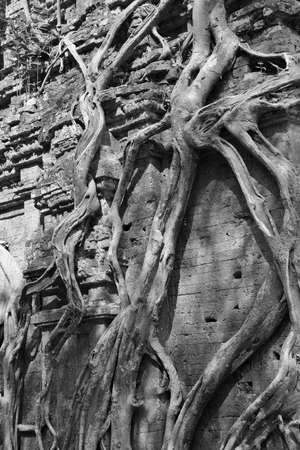 thom: Fig strangling temple, Sambor Pre Kuk, Kampong Thom,  Cambodia