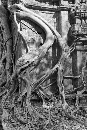 strangling: Fig strangling temple, Sambor Pre Kuk, Kampong Thom,  Cambodia