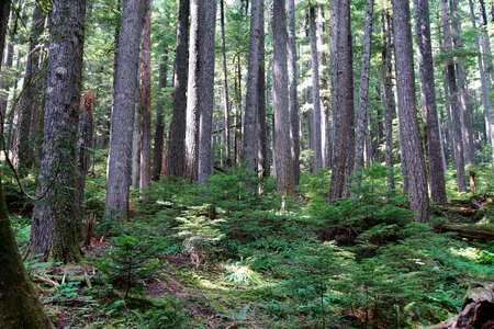 cicuta: Hemlock occidental (Tsuga heterophylla) y Pino Douglas (Pseudotsuga menziesii) bosque, Parque Nacional Monte Rainier