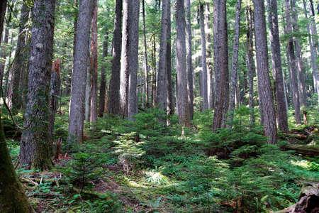 douglas: Western Hemlock( Tsuga heterophylla ) and Douglas Fir ( Pseudotsuga menziesii ) forest, Mount Rainier National Park