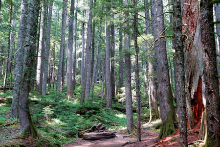 hemlock: Hemlock occidental (Tsuga heterophylla) y Pino Douglas (Pseudotsuga menziesii) bosque, Parque Nacional Monte Rainier