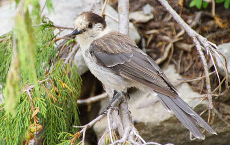 jay: Camprobber - the Gray Jay or whiskey jack, ( Perisoreus canadensis ), Mount Rainier National Park