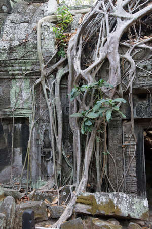 Tree roots overwhelm ancient temple walls, Ta Prohm,  Cambodia