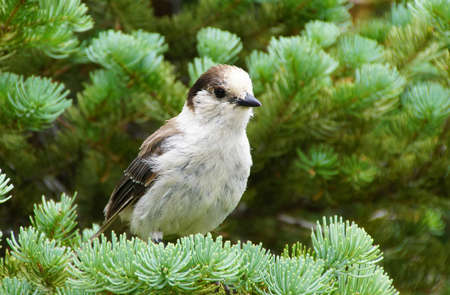 canadensis: Camprobber - the Gray Jay or whiskey jack, ( Perisoreus canadensis ), Mount Rainier National Park