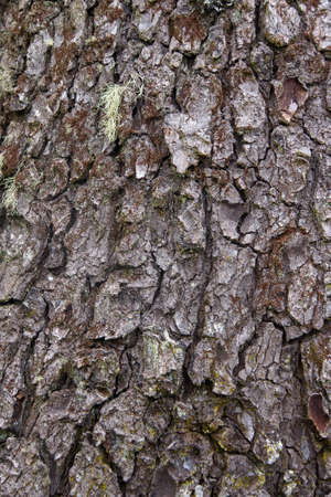 conifer: Detail, conifer bark,  coastal forest,  Oregon Coast
