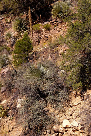 opuntia: Century plant (Agave americana) on hillside,  with sabra, opuntia and other cacti,  Salt River Canyon, Arizona Stock Photo