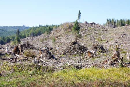 slash: Slash piles and clear cut in Douglas fir forest   ( Pseudotsuga menziesii )  near Raymond , Washington