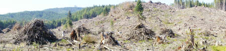 slash: Panorama of slash piles and clear cut in Douglas fir forest   ( Pseudotsuga menziesii )  near Raymond , Washington