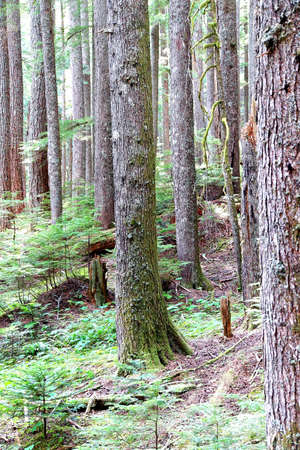 hemlock: Western Hemlock( Tsuga heterophylla ) and Douglas Fir ( Pseudotsuga menziesii ) forest, Mount Rainier National Park