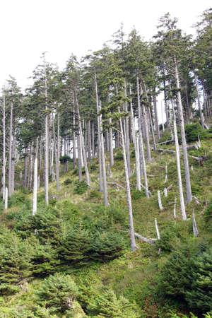 ダグラスファー (ベイマツ) の背の高いスタンド、エコラ州立公園、オレゴン州の海岸のインドのビーチします。 写真素材