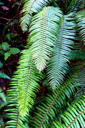 state of oregon: Sword fern ( Polystichum munitum ), Oswald West State Park, Oregon