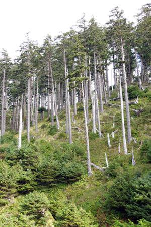 state of oregon: Tall stand of Douglas fir ( Pseudotsuga menziesii ) , Indian Beach in Ecola State park,   Oregon Coast Stock Photo