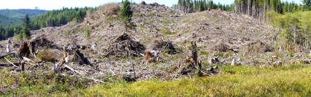douglas: Slash piles and clear cut in Douglas fir forest   ( Pseudotsuga menziesii )  near Raymond , Washington