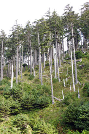 douglas: Tall stand of Douglas fir ( Pseudotsuga menziesii ) , Indian Beach in Ecola State park,   Oregon Coast Stock Photo