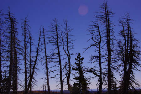 aftermath: Burnt snags from forest fire aftermath, Cedar Breaks National Monument, Utah Stock Photo