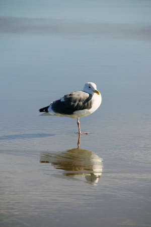 larus: Western gull (Larus occidentalis) and reflection on beach,  Seaside,  Oregon Coast