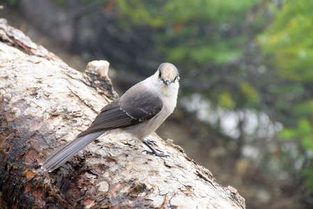 canadensis: Camprobber - the Gray Jay or whiskey jack, ( Perisoreus canadensis ), Joffre Lakes Provincial Park, British Columbia, Canada