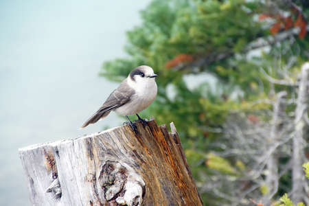 jay: Camprobber - the Gray Jay or whiskey jack, ( Perisoreus canadensis ), Joffre Lakes Provincial Park, British Columbia, Canada