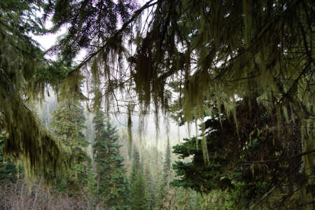 provincial forest parks: Silhouette of Beard lichen Alectoria hanging from conifer trees, Joffre Lakes Provincial Park, British Columbia, Canada Stock Photo