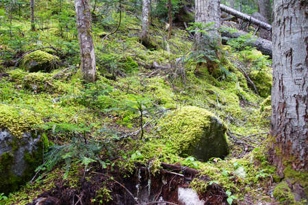 provincial forest parks: Green moss on gray forest rock, Joffre Lakes Provincial Park, British Columbia, Canada Stock Photo