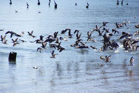 pelecanus: Brown pelicans ( Pelecanus occidentalis ), seagulls and cormorants taking flight on the Columbia River , Washington
