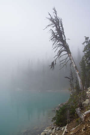 snag: Conifer snag and morning mist on Joffre Lake, Joffre Lakes Provincial Park, British Columbia, Canada
