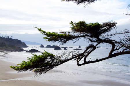 onshore: Krumholtz tree branches with sea stacks in background  near Cannon Beach,   Oregon Coast Stock Photo
