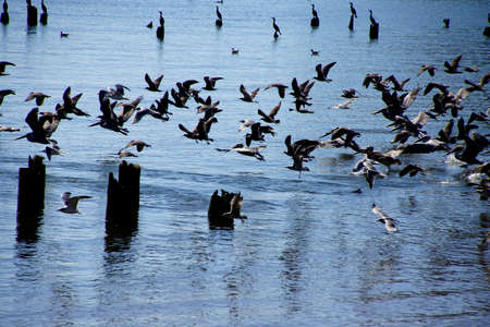 Brown pelicans ( Pelecanus occidentalis ), seagulls and cormorants taking flight on the Columbia River , Washington