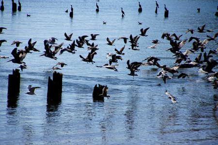 Bruine pelikanen (Pelecanus occidentalis), meeuwen en aalscholvers die op de Columbia-rivier, Washington vluchten
