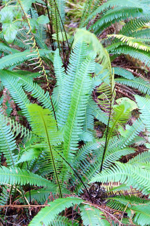 oswald: Deer fern (Blechnum spicant ) in deep forest of Oswald West State Park, Oregon
