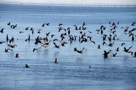 cormorants: Brown pelicans ( Pelecanus occidentalis ), seagulls and cormorants taking flight on the Columbia River , Washington