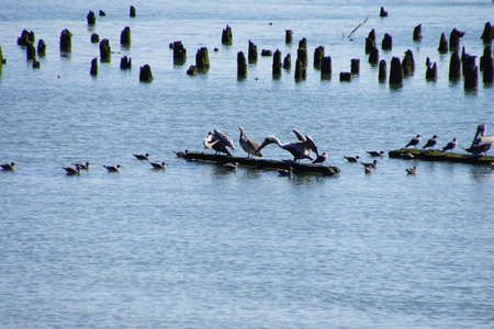 pilings: Brown pelicans ( Pelecanus occidentalis ) and seagulls and cormorants, on old pilings in the Columbia River , Washington Stock Photo