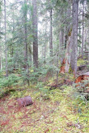 provincial forest parks: Conifer forest and moss and fern undergrowth in Joffre Lakes Provincial Park, British Columbia, Canada