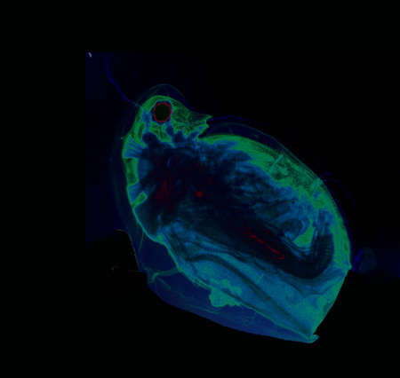 plancton: Daphnia, un género de pequeños crustáceos planctónicos, visto bajo microscopio de alta magnificación Foto de archivo