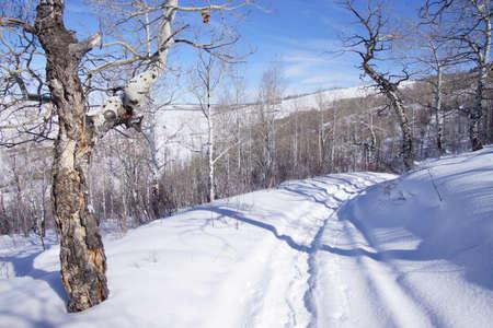 gnarled: Gnarled Krumholz  aspens [ Populus tremula ] line a snowshoe trail near Cordillera,  Colorado