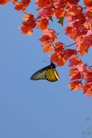 ko: Butterfly in tropical garden on Ko Trong Island,  Kratie, Cambodia