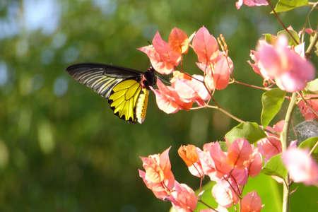 tropical shrub: Butterfly in tropical garden on Ko Trong Island,  Kratie, Cambodia