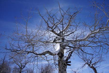 코 델라, 콜로라도 근처 맨 손으로 겨울 아스펜 [Populus tremula]의 뒤 틀린 된 비 꼬인 된 Krumholz 지점
