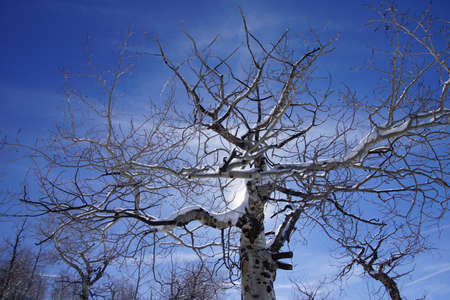 gnarled: Backlit gnarled Krumholz branches of bare winter aspen [ Populus tremula ]near Cordillera,  Colorado Stock Photo