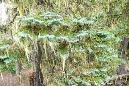 provincial forest parks: Beard lichen Alectoria hanging from conifer trees, Joffre Lakes Provincial Park, British Columbia, Canada