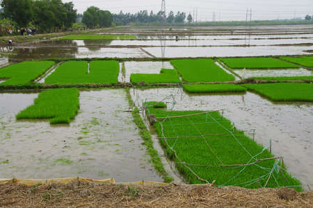 transplanted: Transplanted rice in flooded paddies along the Red River near Haiphong Vietnam