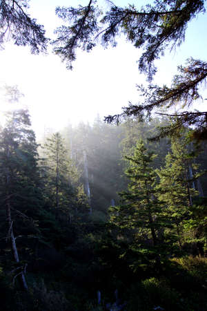 oswald: Morning sun streams through lush old growth forest  Short Sand Beach, Oswald West State Park, Oregon