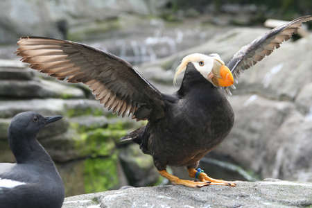 Tufted puffin,  flapping wings, (Lunda cirrhata) , Aquarium, Newport, Oregon coast