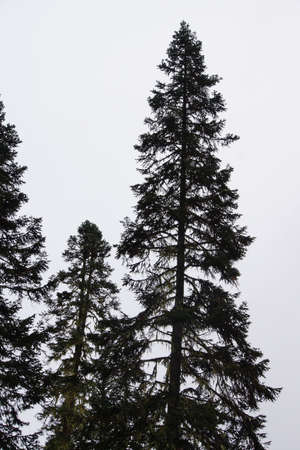 conifers: Tall conifers in misty forest, Joffre Lakes Provincial Park, British Columbia, Canada