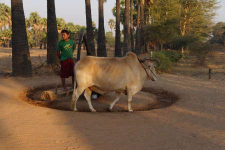 KALAW, BURMA - FEB 27, 2015 - Bullock works a wheel to pump water near Kalaw,  Myanmar (Burma)
