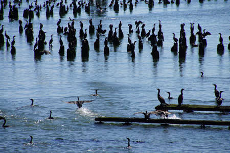 pilings: Brown pelicans ( Pelecanus occidentalis ) and seagulls and cormorants, on the shore of the Columbia River , Washington