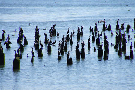 cormorants: Brown pelicans ( Pelecanus occidentalis ) and seagulls and cormorants, on the shore of the Columbia River , Washington