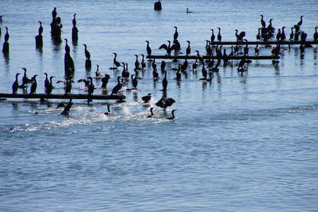 pelecanus: Brown pelicans ( Pelecanus occidentalis ) and seagulls and cormorants, on the shore of the Columbia River , Washington